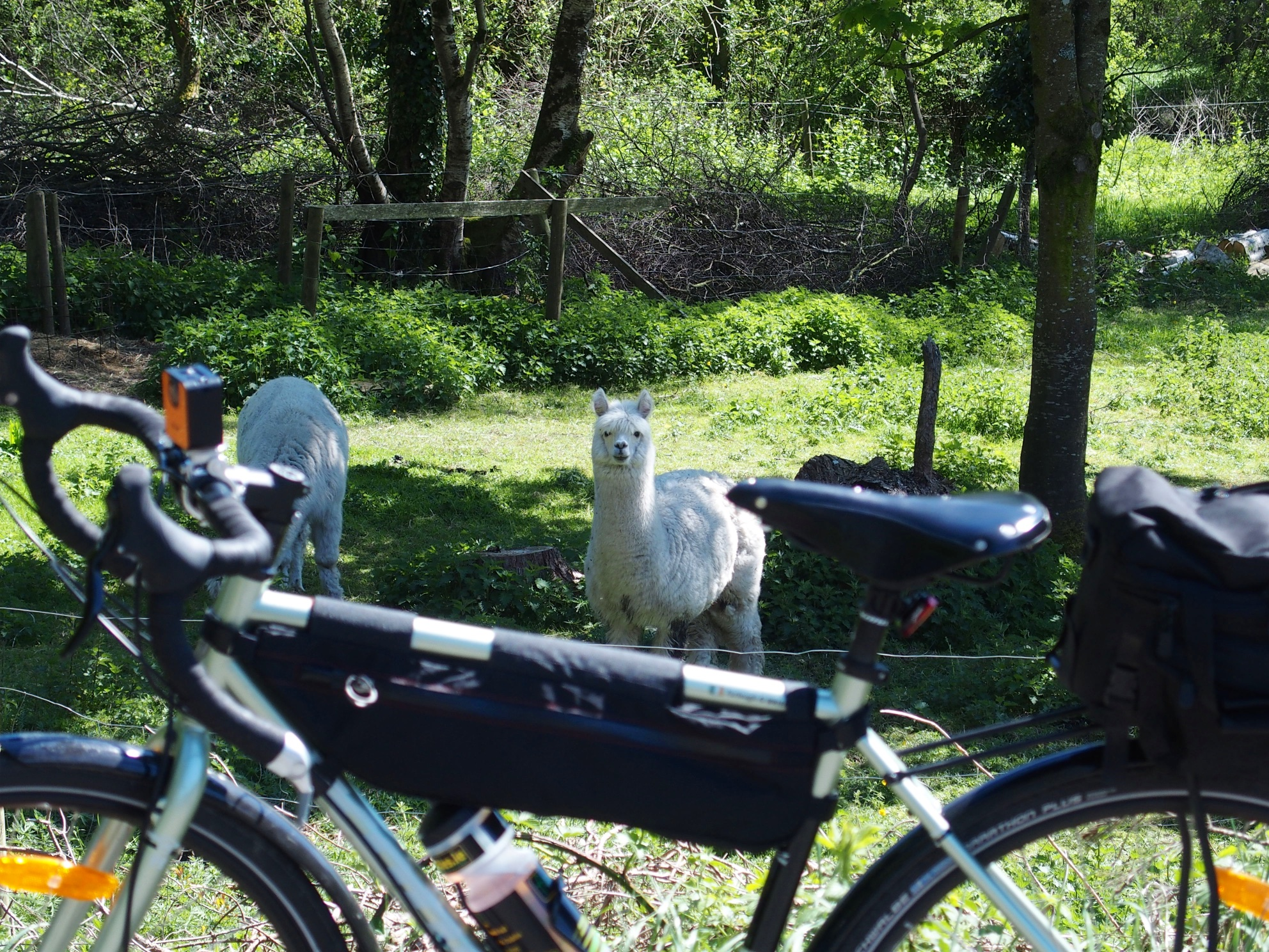 Alpacas near Clogherinka, County Kildare