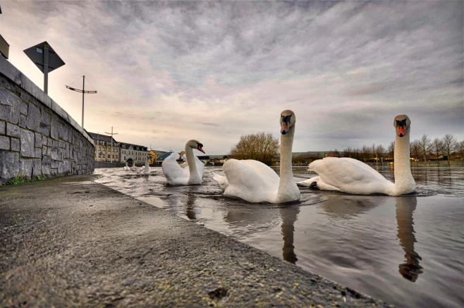 30-3-swans-on-barrow